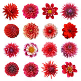 collection dahlias rouges