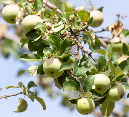 ripe apples on the tree in nature
