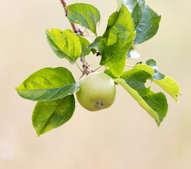 Fresh ripe green apples on tree in summer garden
