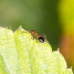 ant on green leaf. close-up