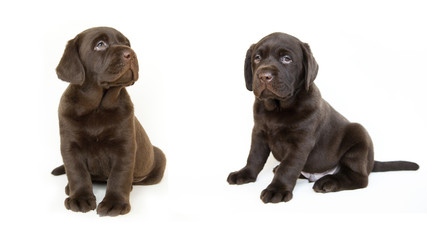 brown Labrador puppies