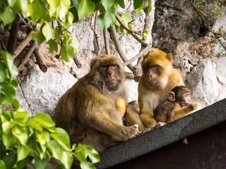Berberaffenfamilie auf Gibraltar besetzen Hausdach