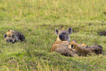Hyena with young