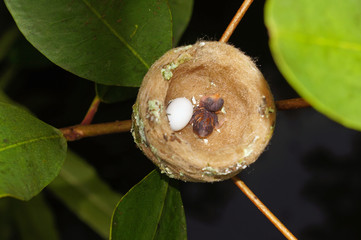 Hummingbird nest with one egg and one baby