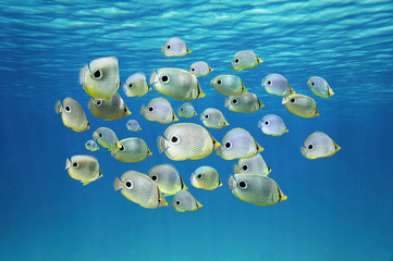 School of tropical fish Four-eyed Butterflyfish