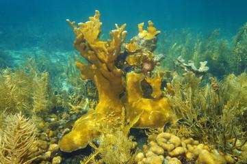 Underwater reef of Caribbean sea and Elkhorn coral