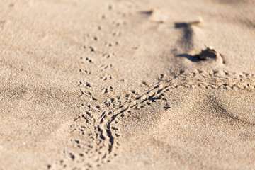 footprints in the sand lizard