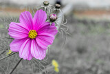 pink flower - black and white background - 70736979