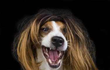 Jack Russel Terrier parrucca bionda