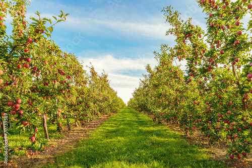 Rows of red apple trees - 70739389