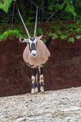 Gemsbok antelope (Oryx gazella) deer