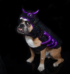 English Bulldog posed in his spider Halloween Costume