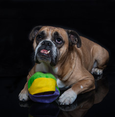 English bulldog posing with his toy