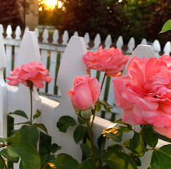 Pink Rosebud With Picket Fence