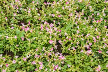 purple flowers white trim.