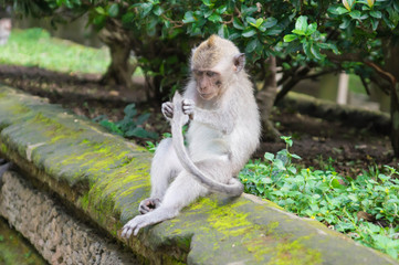 Sitting monkey considering the tail