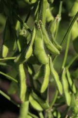 枝豆 (秘伝豆)