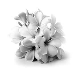 Tropical flowers frangipani (plumeria) black and white isolated