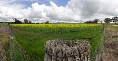 Field of Golden Canola