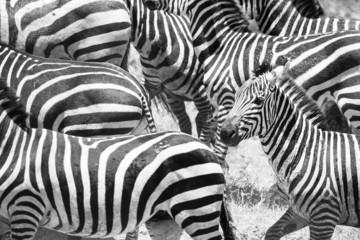 Close up of running zebras in Africa