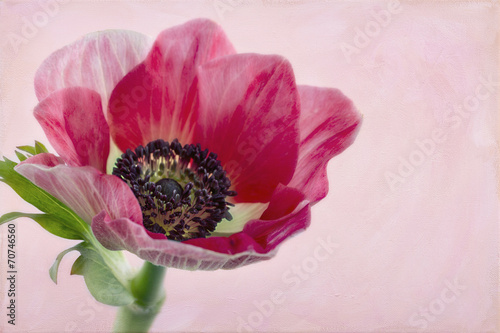 Foto op Canvas Lilac Closeup of anemone flower2