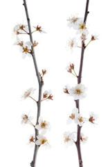 Spring cherry blossom,Closeup.
