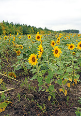 Many flowering sunflowers on a field