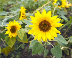 Blooming flower of a sunflower in the garden