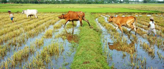 Asian child labor tend cow, Vietnam rice plantation