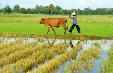 Asian farmer tend cow on rice plantation