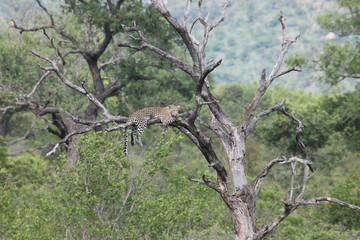 African leopard in the tree. Kruger Park, Леопард африканский