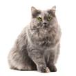 gatto siberiano occhi verdi