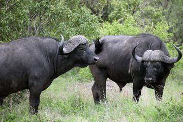 Cape Buffalo (Syncerus caffer), Kruger National Park,Буйвол. Бык