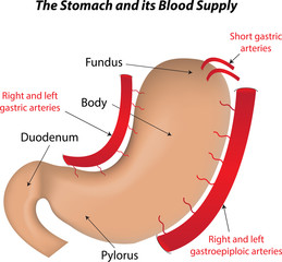 The Stomach and its Blood Supply Labeled Diagram