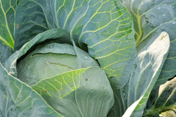 Cabbage in cool morning dew