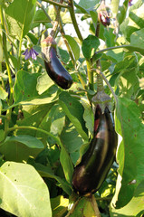 several differenr size violet eggplants and flower