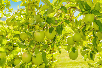 Green apples hanging on the tree