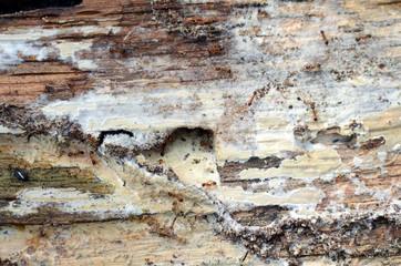 Braunglänzende Gastameise im Eichenholz