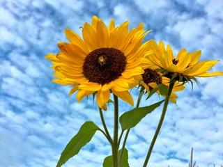 Sonnenblumen vor Wolkenhimmel