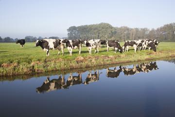 cows in a meadow near zeist in the Netherlands