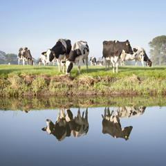 cows in a meadow near zeist in the Netherlands