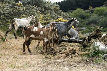 Goats on a farm