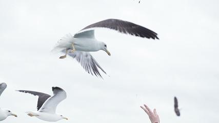 Seagull in flights