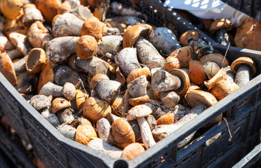 Raw edible mushrooms ready for sale at the local market