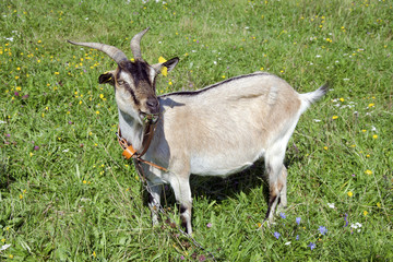 The goat grazes on a blossoming meadow