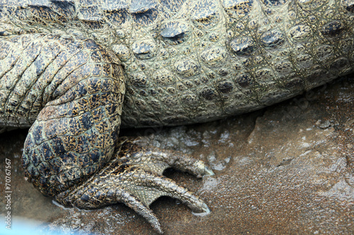 Deurstickers Krokodil Cayman. Leg of a crocodile. Нога каймана