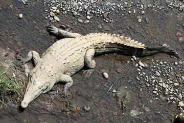 Crocodile. Сrocodile  closeup. Крокодил узкомордый