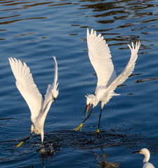 Snowy Egrets fighting each other