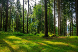 Fototapety forest glade in  shade of the trees