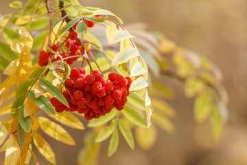 fruits of mountain ash on a background of yellow leaves